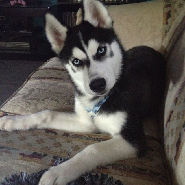 disappointed husky - photo #10