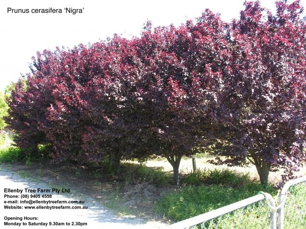 prunus cerasifera 39 nigra 39 backyard pinterest. Black Bedroom Furniture Sets. Home Design Ideas