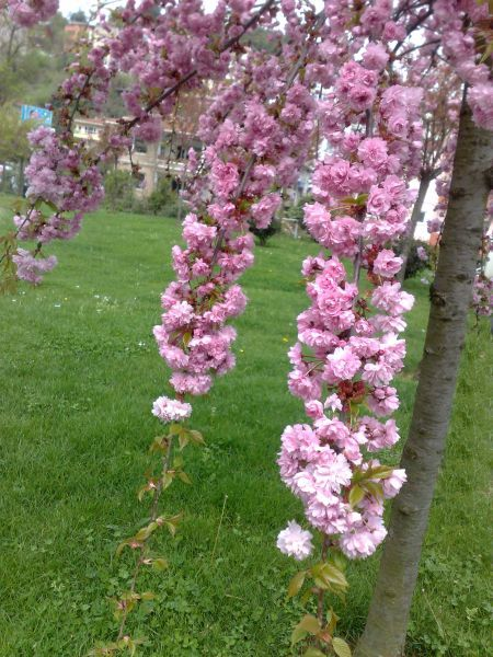 Prunus ´kiku-shidare zakura-Sakura