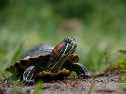 Une tortue d'eau chez soi ?  http://www.zoomalia.com/blog/article/je-veux-une-tortue-eau.html