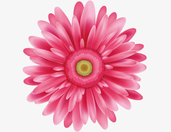 Pink Daisies Pink Flowers Pink Chrysanthemum Png Transparent Clipart Image And Psd File For Free Download Pink Daisy Pink Flowers Beautiful Flowers