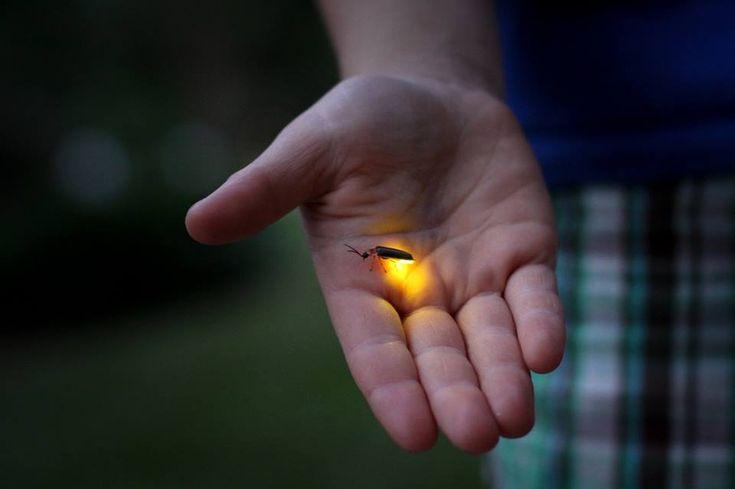 Porqué dan luz las luciérnagas: el ritual de la seducción perfecto