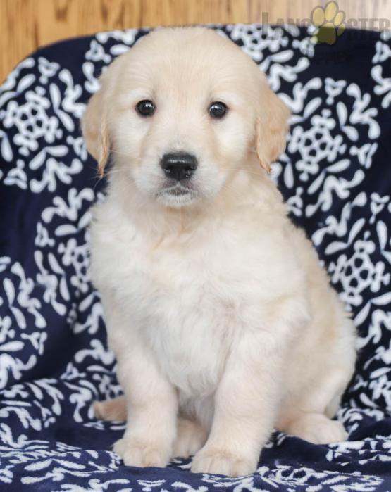 Pin By Shrishti Rawat On White Golden Retriever Puppy Golden