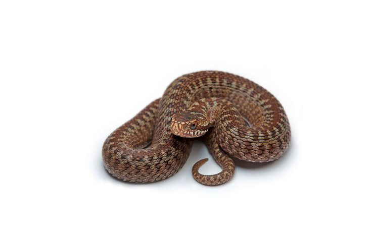 Brown Coiled Snake Wallpaper