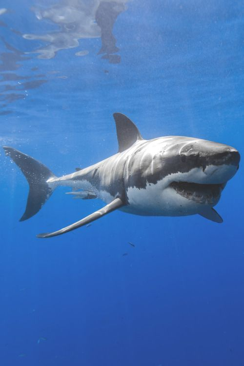 gardenofelegance: lsleofskye: Happy shark!