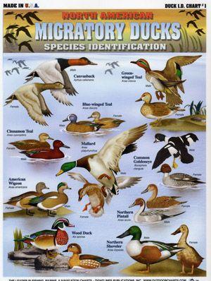 Duck Identification Chart