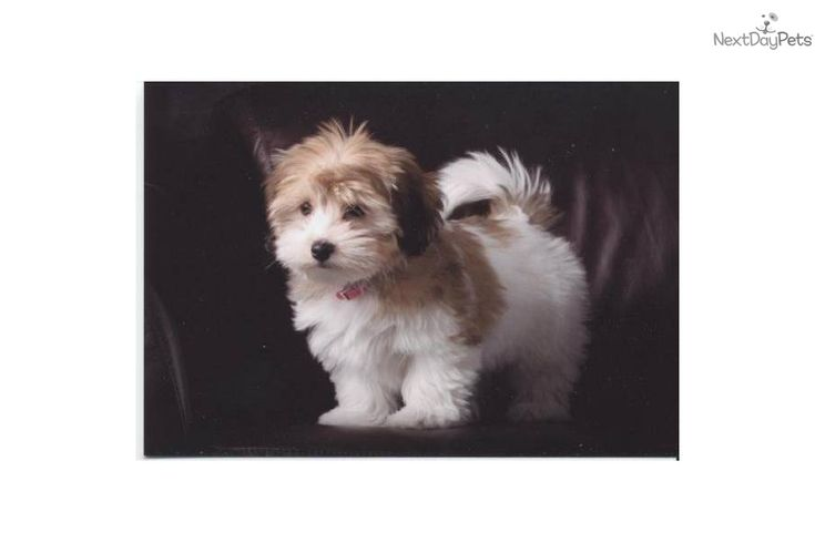 Havanese for sale for 1,200, near Tampa Bay Area, Florida