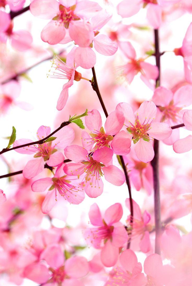 12 best sakura flowers images on pinterest landscapes spring beautiful pink flower blossom on white dhlflorist Images