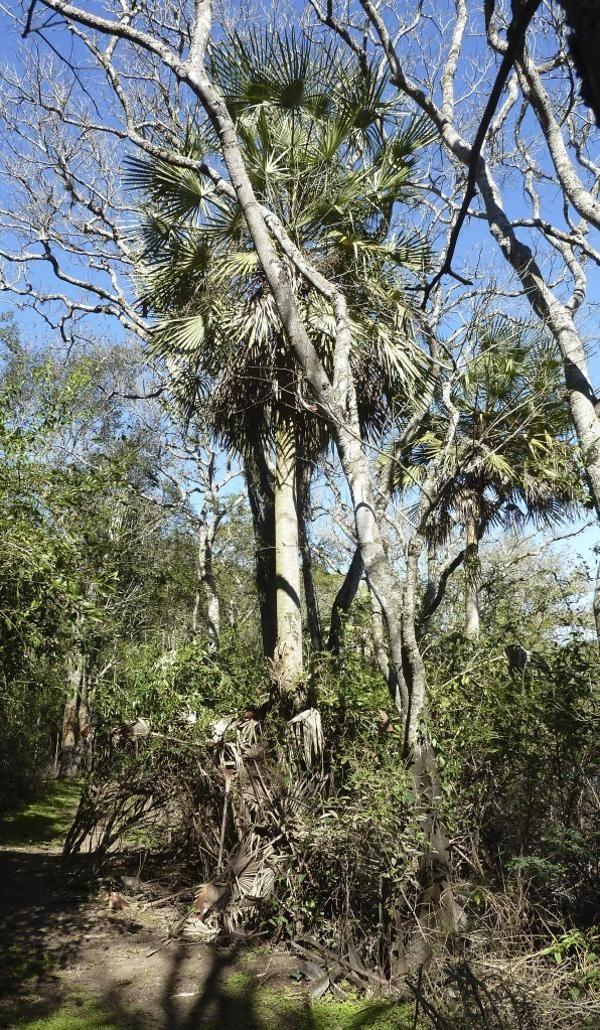 La hermosa y resistente palmera pindó, que crece en medio del monte (R.Peiró)