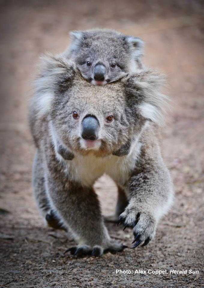 Healesville Sanctuary welcomes Dindi, the first Koala joey to be born at the Sanctuary in more than three years. Dindi was named after Aboriginal elder Murrundindi. Here he is on his Mum's back!
