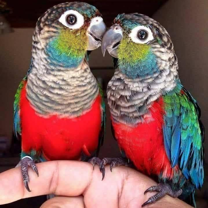 Conuro perlato - Crimson-bellied Parakeet - Pyrrhura perlata