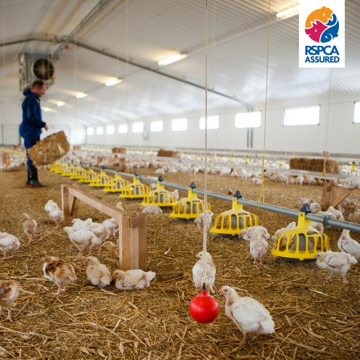 Do you know where to buy high welfare RSPCA Assured chicken? Find out here! https://www.rspcaassured.org.uk/where-to-buy/ms-commits-to-improving-chicken-welfare/