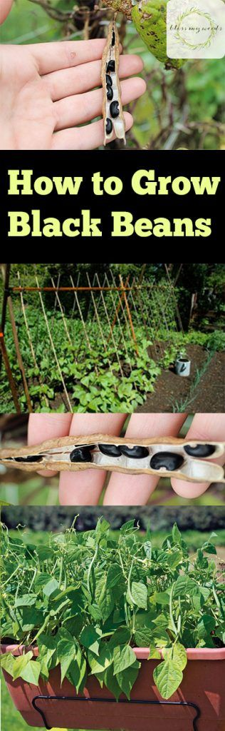 How to Grow Black Beans http://blessmyweeds.com/how-to-grow-black-beans/