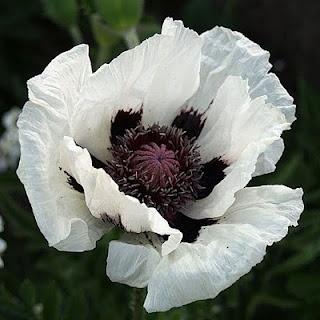 Poppy Wallpaper For Iphone White Poppies With Black Center Www Pixshark Com