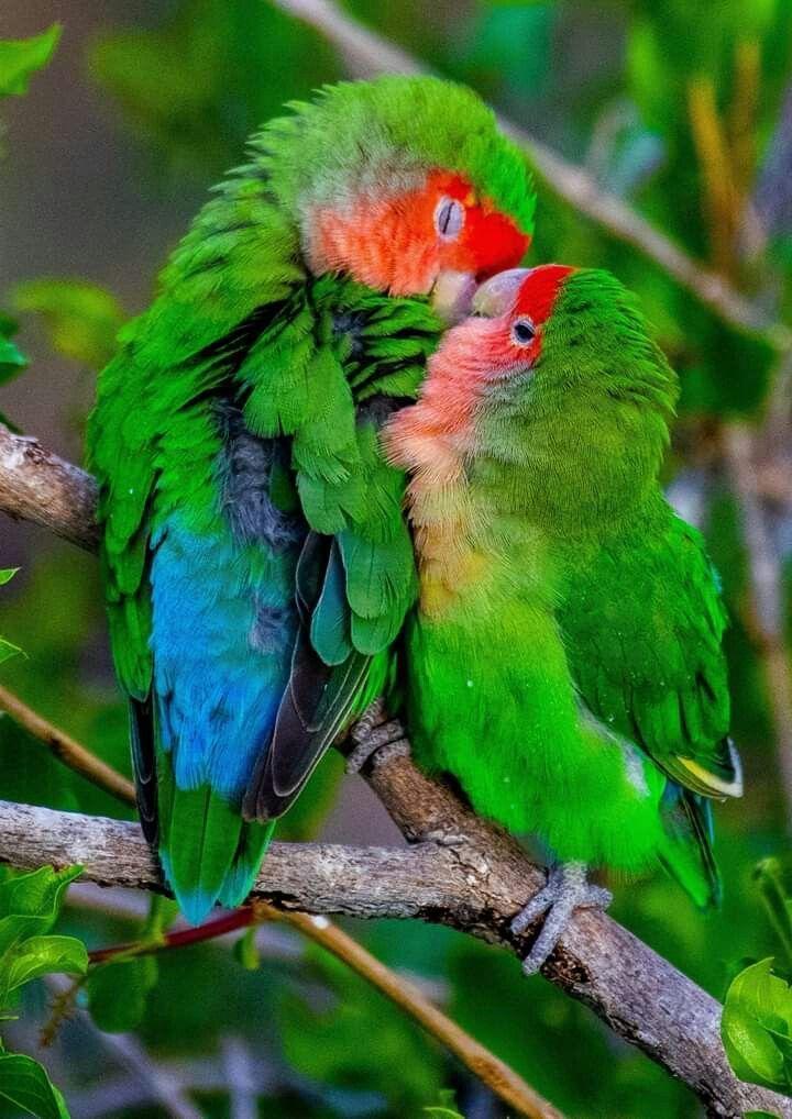 Rosado, también conocido como cara de melocotón, Lovebirds