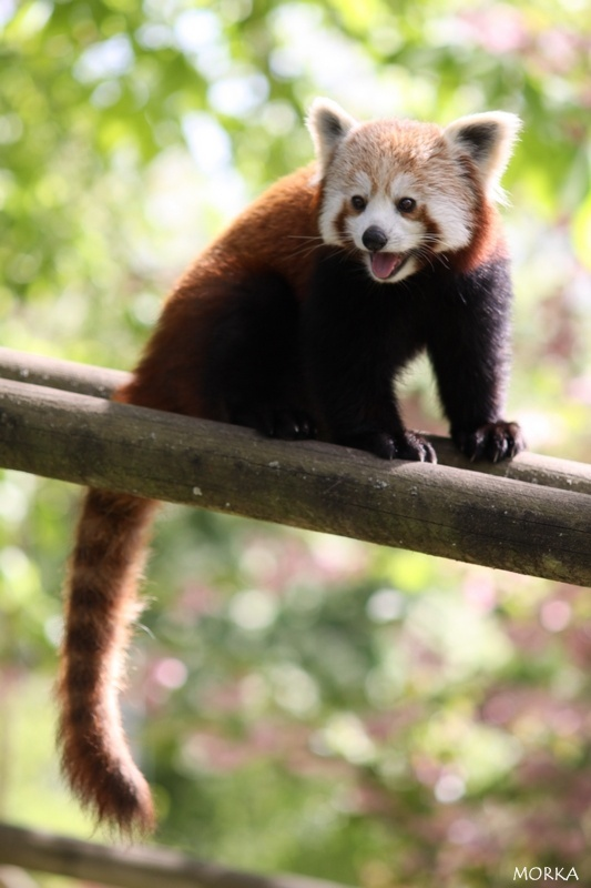 Red panda, Beauval zoo, France.  http://www.morka.fr
