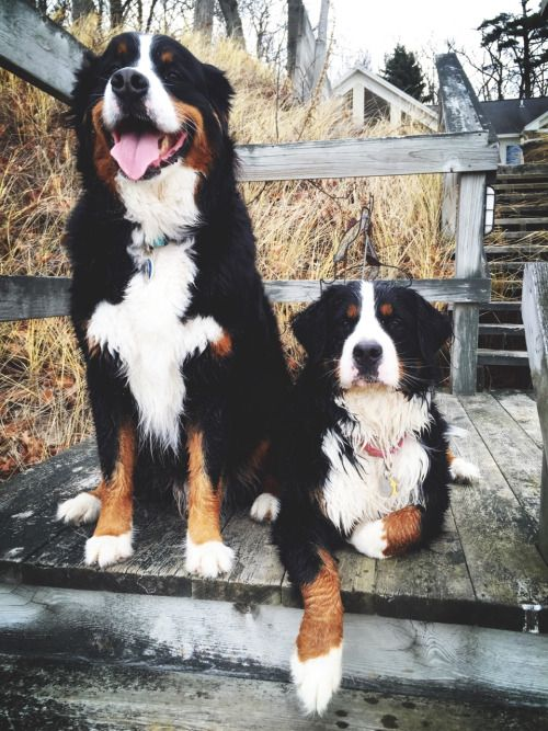 I think these are bernese mountain dogs but I could be wrong... but I want one <3