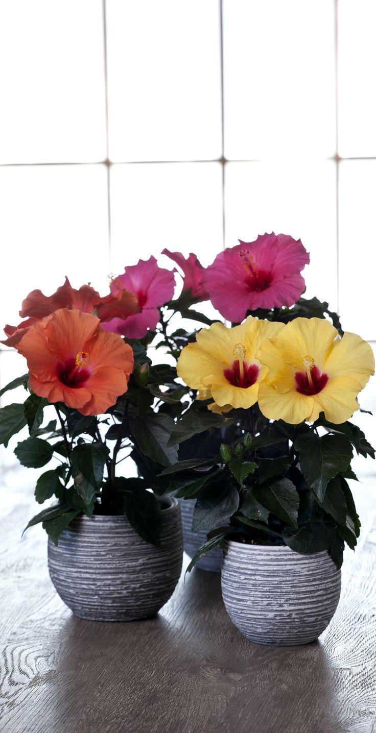 Hawaiiblomsten er en fantastisk smuk stueplante. #stueplanter #hawaiiblomst #blomstrendestueplante #potteplante #hibiscus #pottedplant #plantorama
