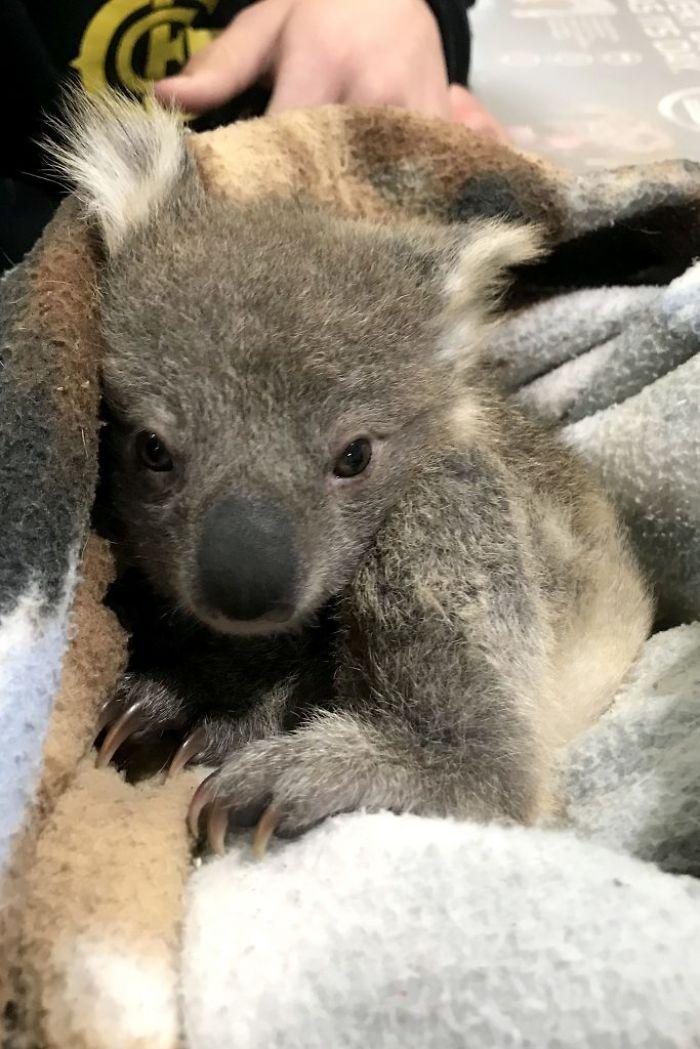 Golden Retriever Comes Home With A Baby Koala Whose Life She Just Saved In 2020 Baby Koala Koala Koala Bear