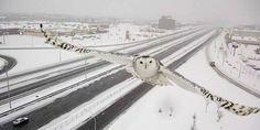 高速道路の監視カメラに偶然写った「シロフクロウ」が美しすぎる