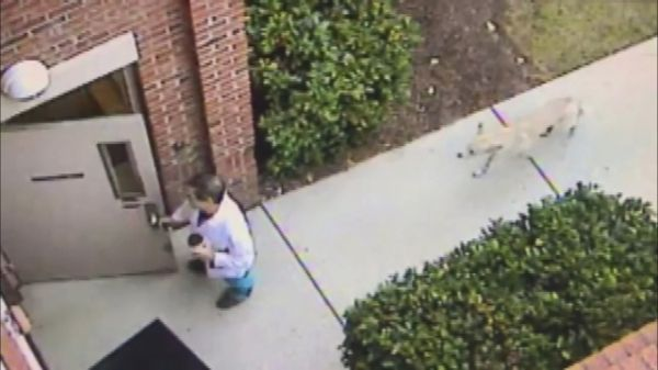 A security camera recently captured the hair-raising moment a coyote stealthily followed a doctor into his office in South Carolina. The doctor -- Steven Poletti, an orthopedic surgeon -- said the harrowing incident happened early in the morning on Feb. 15 while he was walking into work at the Southeastern Spine Institute in Mount Pleasant, South Carolina. Poletti had no idea a coyote was behind him until they were both inside the building, he told ABC News today.