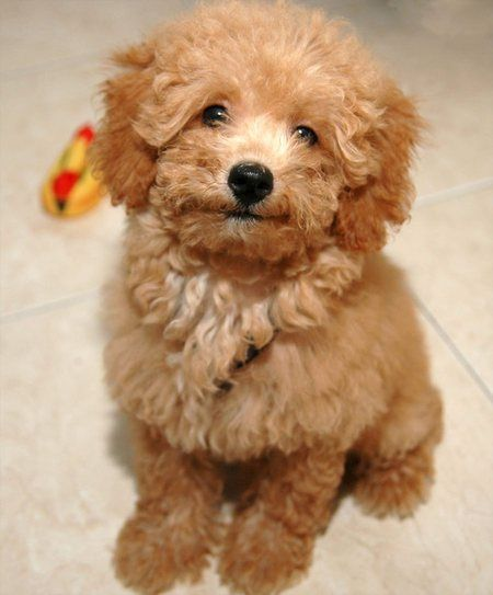 Toy poodle apricot baby