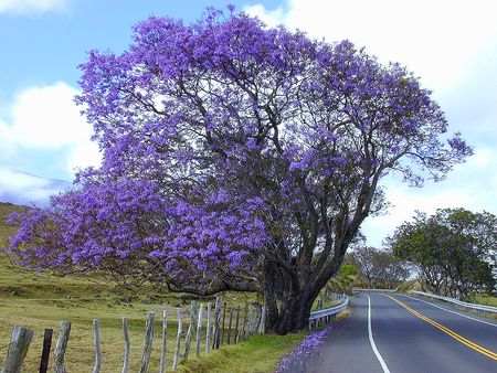 jacarandaPurple Trees, The Roads, Jacaranda Trees, Colors, South America, Front Yards, Gardens, Lilac Trees, Childhood