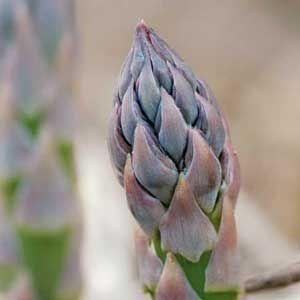 Top 5 Reasons to Grow Asparagus