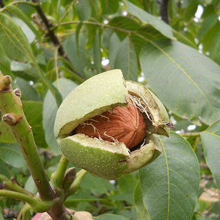 Tolerant in Hot and Cold Climates  -   The Carpathian Walnut Tree has so much to like:      Hardy tree tolerant of heat and temperatures down to minus 30     Scores of huge, delicious walnuts you can enjoy right away or store for months     Walnut husks naturally ward off pests and insects     Tremendous tree with awe...