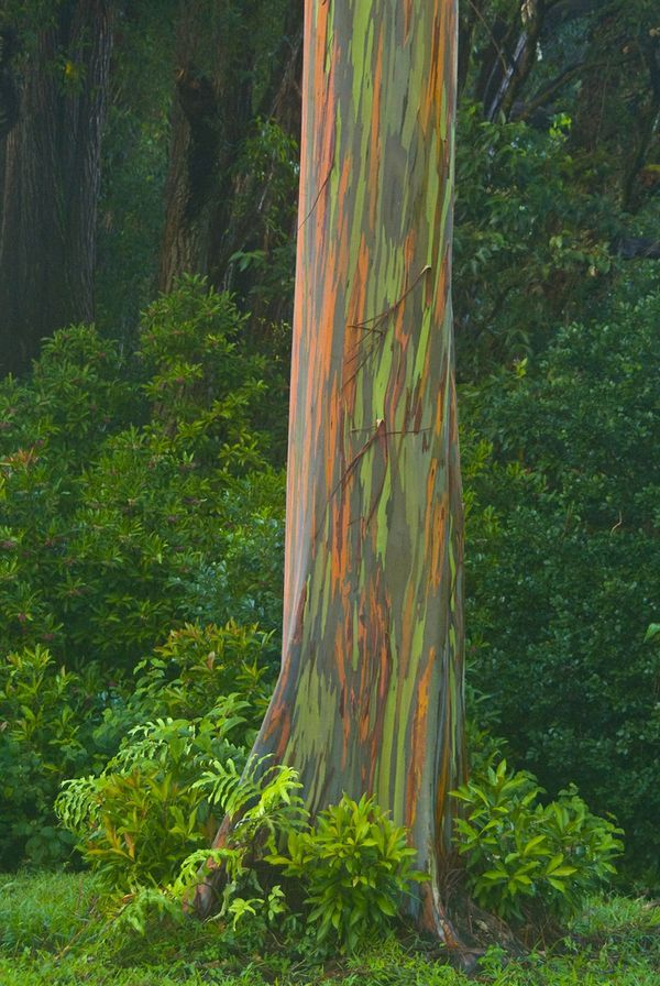 Rainbow Eucalyptus. It sheds and is very cool to the touch! ~Lilliandra