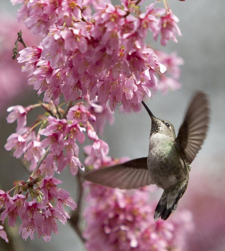 Hummingbird eats sweet nectar of spring at Arboretum | The Seattle Times