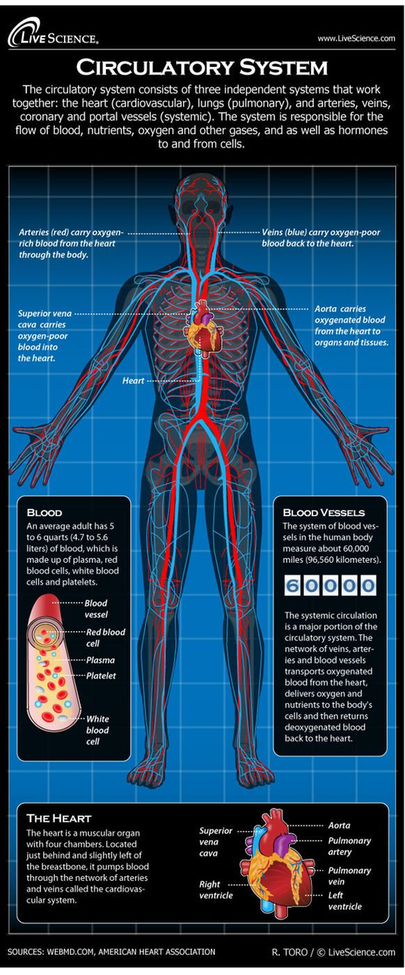 The human circulatory system keeps blood, oxygen and nutrients flowing through the body. A description of the circulatory system's function, organs and diseases that affect it.