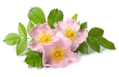 scopriamo i benefici e le cure e i rimedi naturali della rosa canina