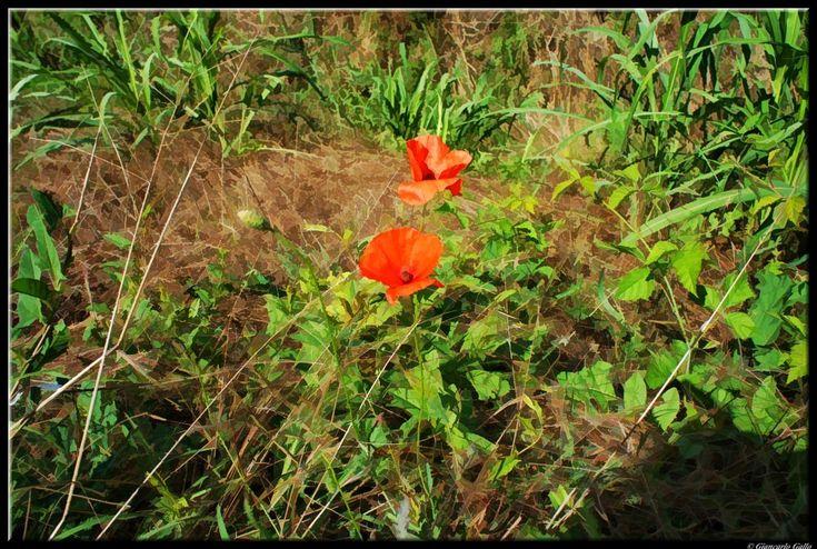 Spontaneous Poppy flowers by Giancarlo Gallo