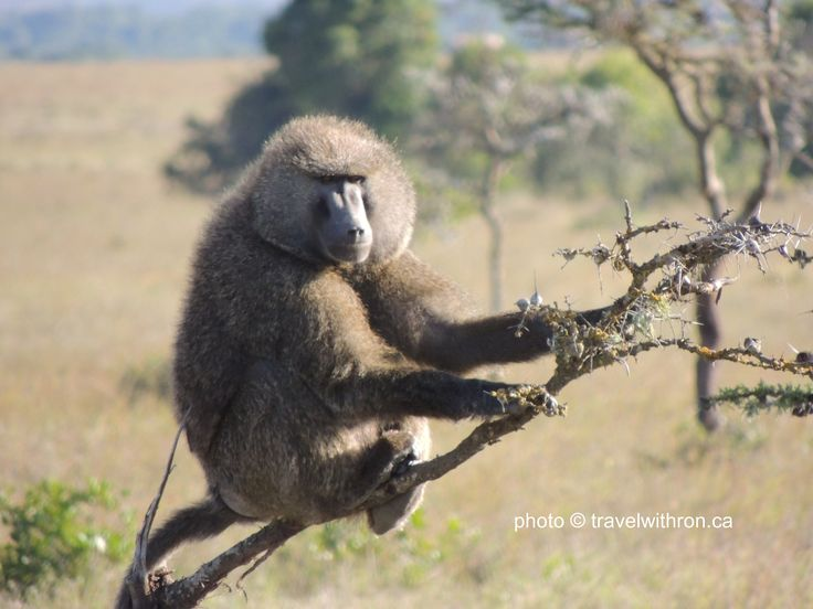 An Olive Baboon sitting leisurely on a Whistling Thorn Acacia Tree.  Sweetwaters Game Reserve, Kenya   travelwithron.ca