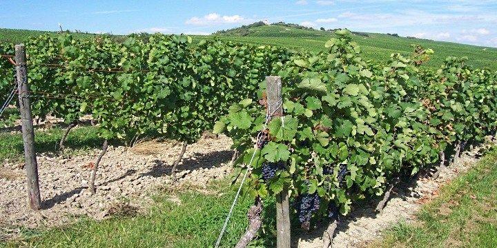 vinjournalen.se -  Vin Skola : Veckans fråga: Hur gamla är gamla vinstockar? |  Veckans fråga: Man pratar alltmer ofta om gamla vinstockar – hur gamla är gamla vinstockar egentligen och anses vinet som kommer från gamla stockar vara av bättre kvalitet? Hej, Intressant fråga eftersom, precis som du säger, så pratar man alltmer om gamla vinstockar – Vieilles Vignes – som i de... http://wp.me/p73gTR-3B7