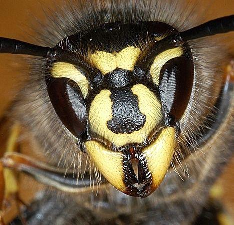 Argentine honeybee flutter for sex