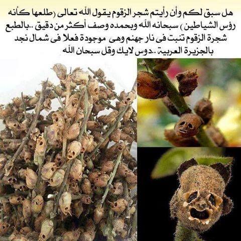 Zaqqum tree .. (Hell tree) southern Saudi Arabia | Islam ...