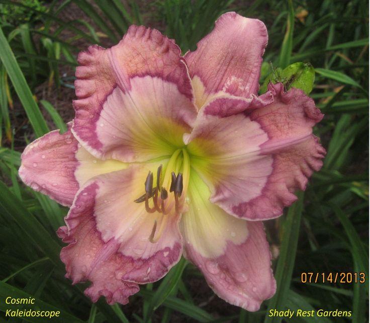 Daylily (Hemerocallis 'Cosmic Kaleidoscope') in the Daylilies Database (All Things Plants)