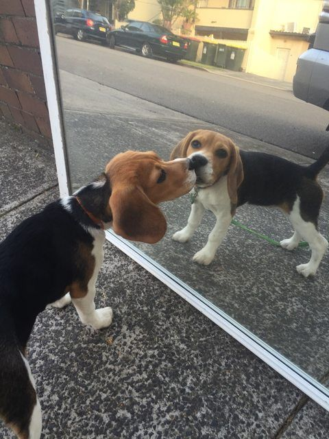 38 Puppies For Anyone Who Needs A Smile – #16. This pretty lady who is seeing her reflection for the very first time. http://www.pindoggy.com/pin/9571/