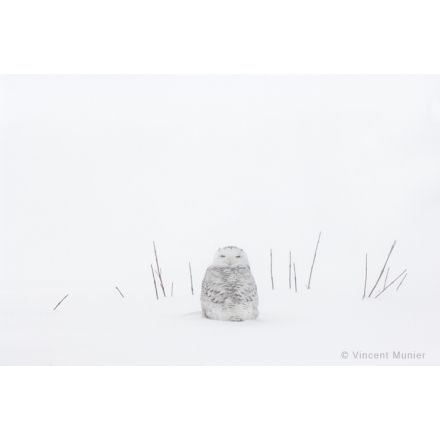 VMBN147 Harfang des neiges