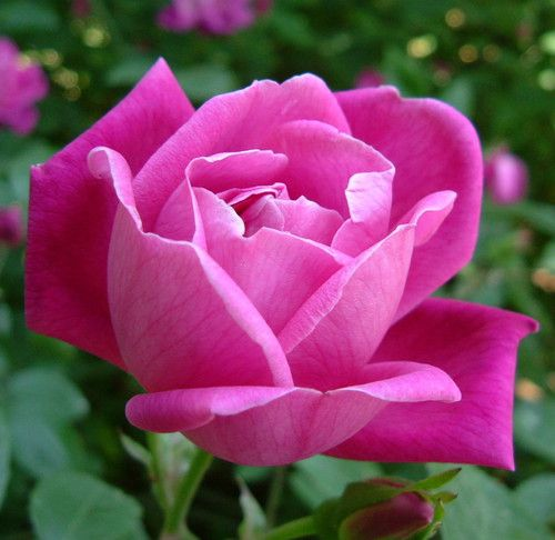 China Rose 15 Seeds -Rosa chinensis-HEIRLOOM-Perennial