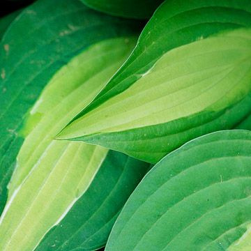 Hosta        Hostas are the ultimate shade-garden plants because they're so tough. They also offer a huge variety; look for varieties that grow from 6 inches to 6 feet wide -- and with leaves in shades of green, gold, or blue.        Plant Name: Hosta selections        Growing Conditions: Shade and moist, well-drained soil        Size: To 6 feet tall and wide, depending on type        Grow it with: Ferns; their fine-textured foliage makes the perfect contrast to any hosta variety…