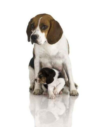 Beagle Dog - 36H x 28W - Peel and Stick Wall Decal by Wallmonkeys ALL orders CUSTOM printed. When you place an order, the image is made in the USA, just for you!. Printed on WHITE, premium, self-adhesive, re-positionable fabric paper.. No nails, frames or glue. No professional installation required.. Simply peel and stick! Easy to remove and re-apply.. BE SURE you ordered the right size for your... #WallmonkeysWallDecals #Home