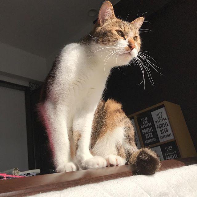 憧れは  百獣の王 . .  #猫#猫生活 #猫部#cat#catsofinstagram #lovecat #catstagram #ねこ部 #愛猫 #ねこ様 #ねこすたぐらむ #ねこずきさんと繋がりたい #猫画像