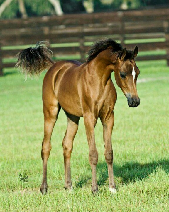 341 best images about cute horse pictures on pinterest horses for sale palomino and ponies - Arabian horse pics ...