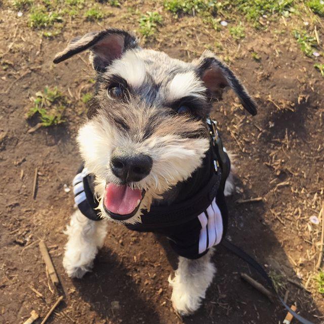 ノアちゃんと駒沢公園でお花見散歩。アディダス着てご主人とペアルック。#愛犬 #ミニチュアシュナウザー #dog #noahchanthedog