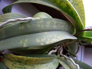 Paixão por orquídeas - Meu orquidário: Manchas nas folhas? Apodrecimento? Insetos? Caracóis?... Conheça as Pragas e Doenças que atacam as orquídeas