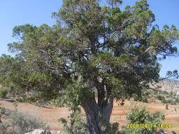 Andız Ağacı (Juniperus drupacea)