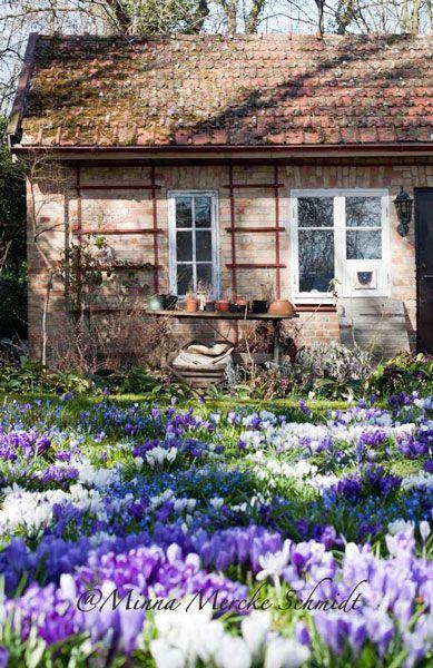 Ulriksdals trädgård, Kivik, Sweden  Crocus in bloom